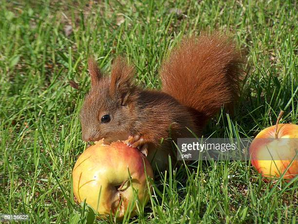 red squirrel eating an apple close up - pejft stock pictures, royalty-free photos & images