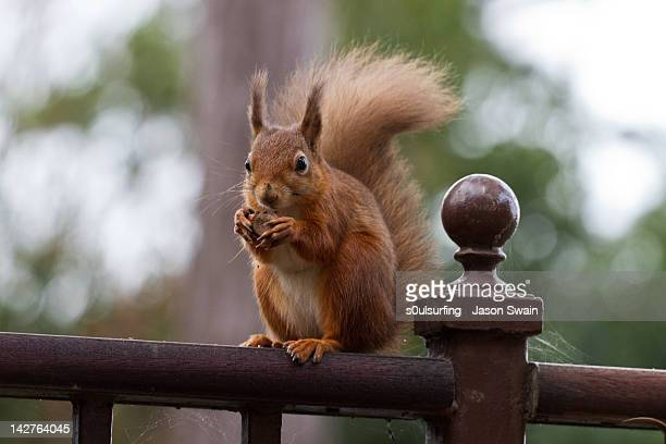 red squirrel eating hazelnuts - s0ulsurfing stockfoto's en -beelden