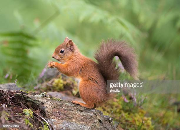 Red Squirrel eating in woodland