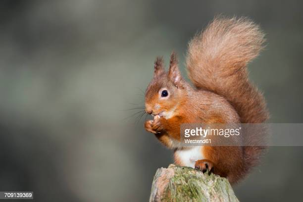 red squirrel eating - リス ストックフォトと画像