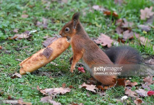 A red squirrel eats a discarded baguette in a garden in Brussels on January 3 2019
