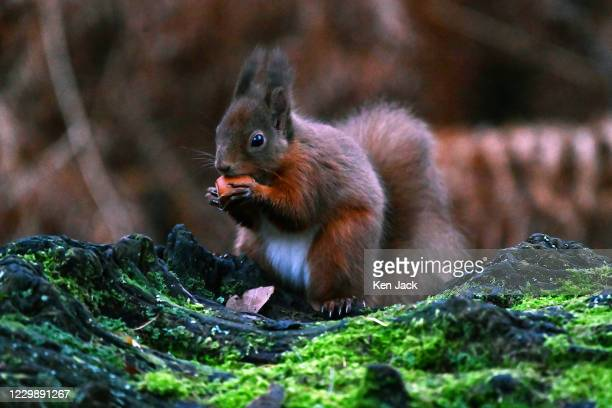 Red squirrel eats a hazelnut retrieved from a hole in a fallen tree trunk at the RSPB's Loch Leven nature reserve, on December 1, 2020 in Kinross,...