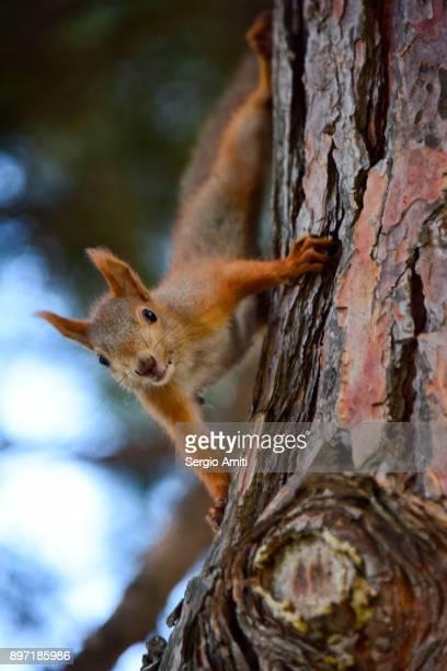 red squirrel facing the camera - kaukasus geografische lage stock-fotos und bilder