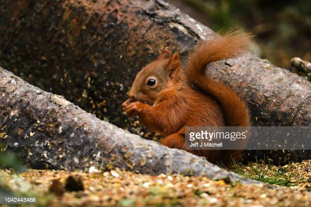 Red squirrel feeds in the Trosssachs on September 28, 2018 in Aberfoyle, Scotland. Autumn sunshine is forecast for large parts of the UK for the...