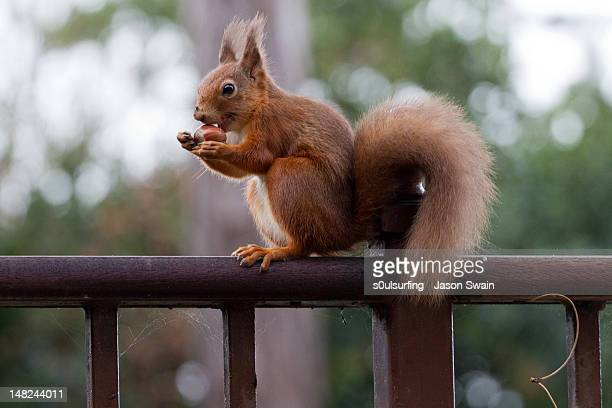 red squirrel getting ready for winter - s0ulsurfing stock-fotos und bilder