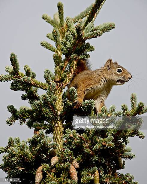 red squirrel (spruce squirrel) (tamiasciurus hudsonicus) in a spruce tree, denali national park and preserve, alaska, united states of america, north america - american red squirrel stock photos and pictures