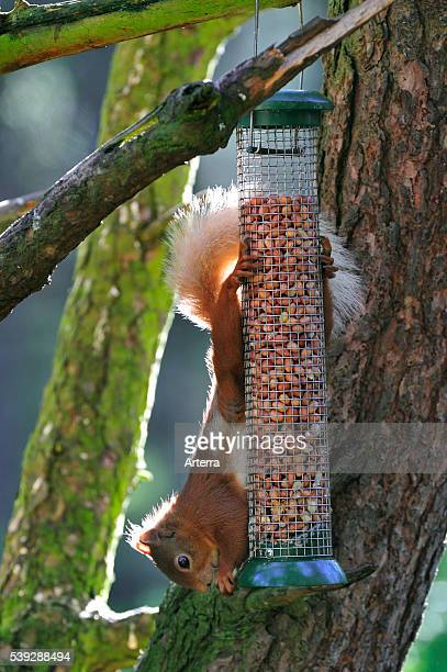 Red squirrel in forest eating peanuts from bird feeder, Scotland, UK .