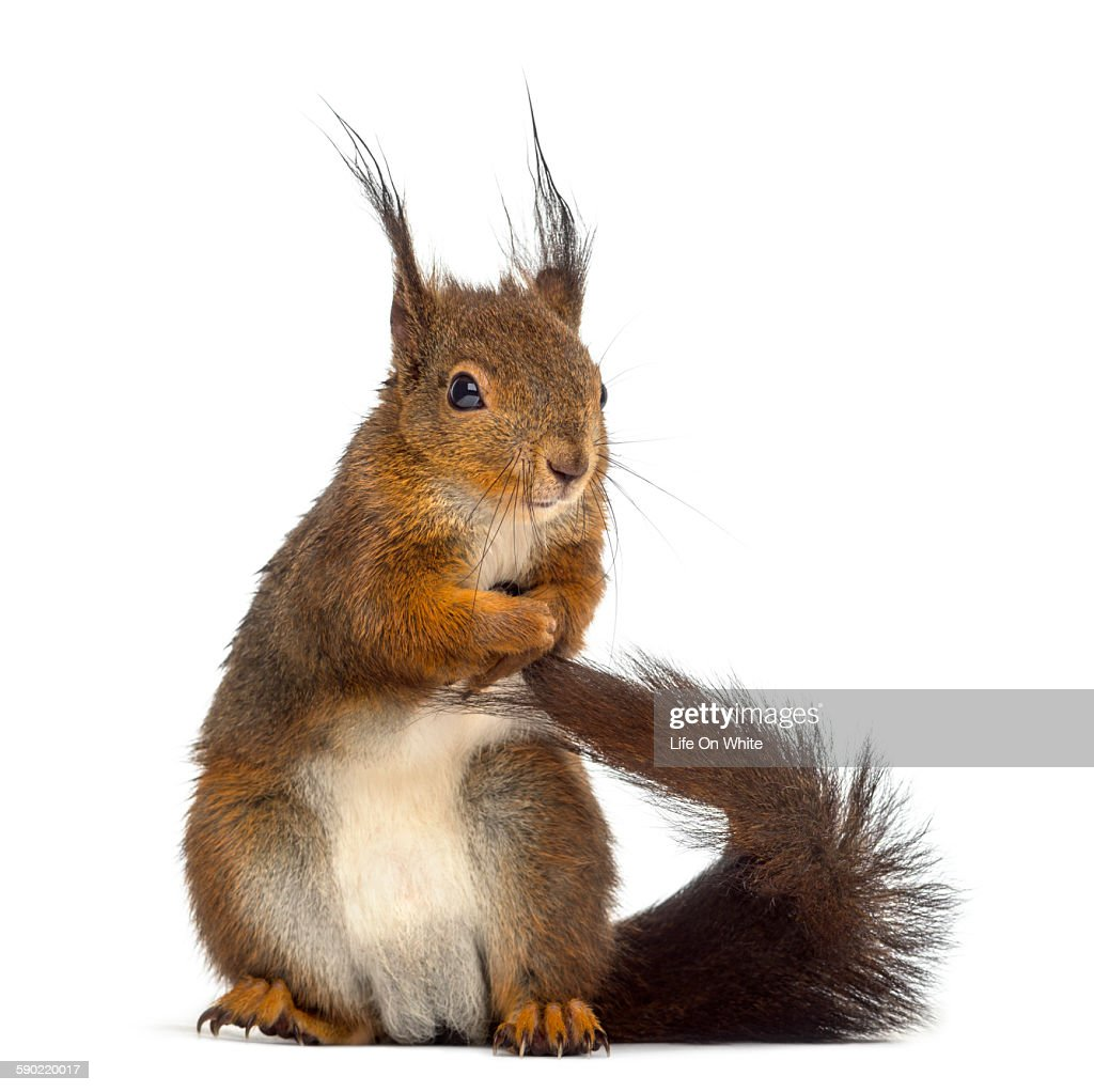 Red squirrel in front of a white background : ストックフォト