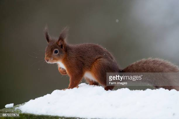 Red Squirrel in snow. Sciurus vulgaris.