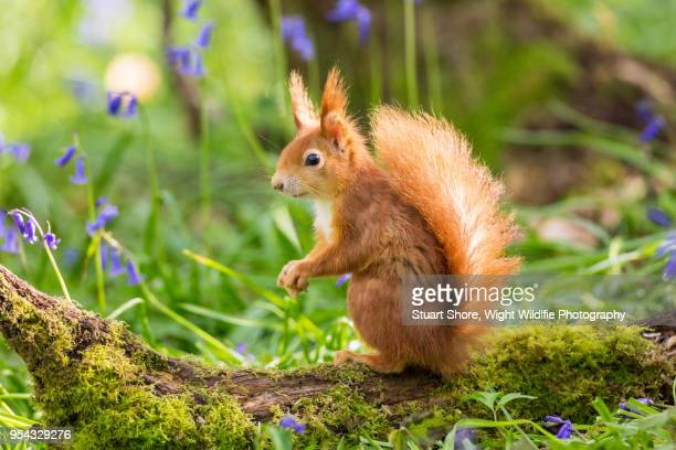 red squirrel in the bluebells - リス ストックフォトと画像