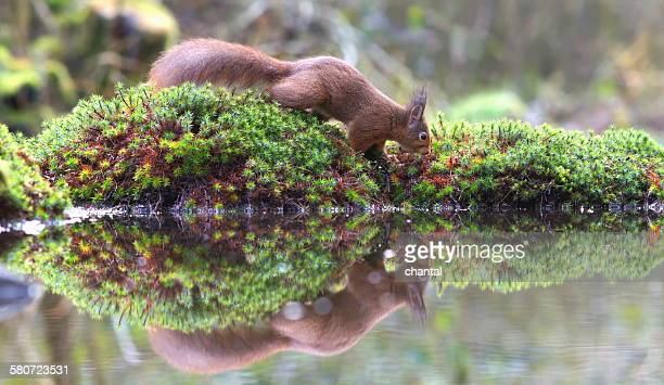red squirrel in the forest by the waterside - american red squirrel stock photos and pictures