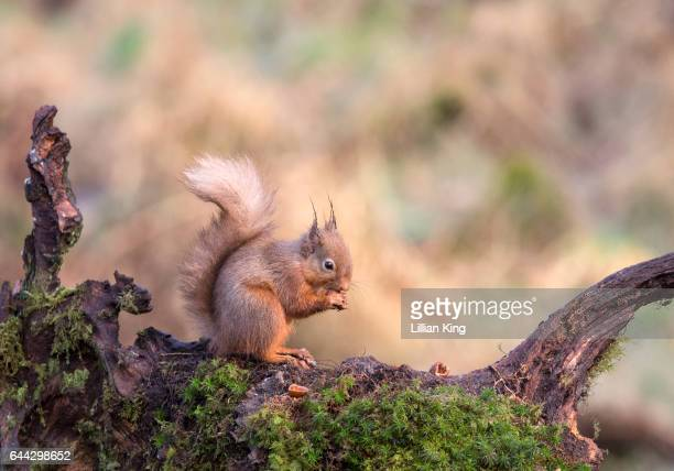 red squirrel in the wild - dumfries stock pictures, royalty-free photos & images