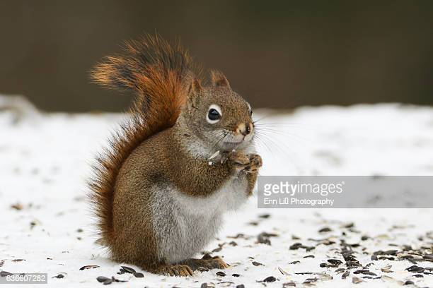 red squirrel in winter - american red squirrel stock photos and pictures
