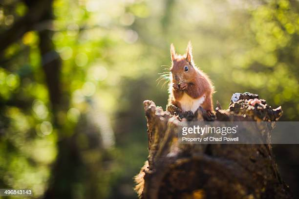 red squirrel, isle of wight - american red squirrel stock photos and pictures
