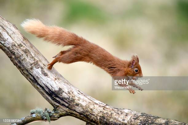red squirrel (sciurus vulgaris) jumping on tree branch with nut in mouth - jumping stock pictures, royalty-free photos & images