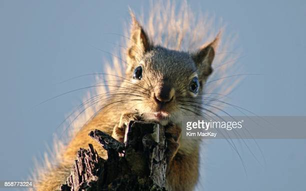 red squirrel looking down from tree branch, sky background - american red squirrel stock photos and pictures