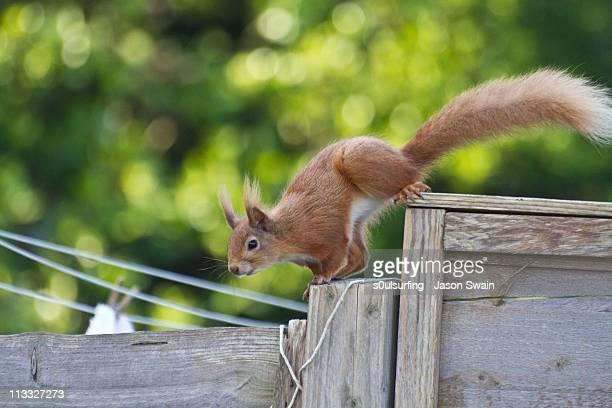 red squirrel manoeuvres - s0ulsurfing stockfoto's en -beelden