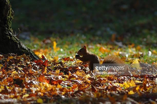 red squirrel of dijon - dijon photos et images de collection