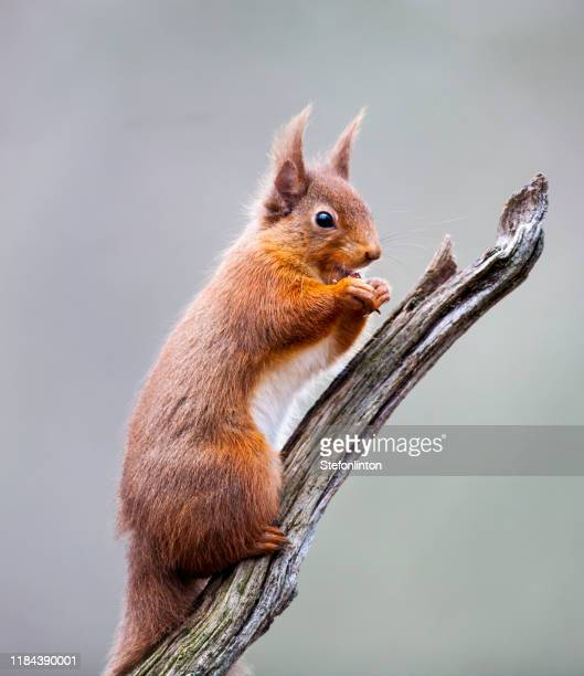 red squirrel on a branch - eurasian red squirrel stock pictures, royalty-free photos & images