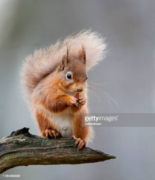 red squirrel on a branch - mammal stock pictures, royalty-free photos & images