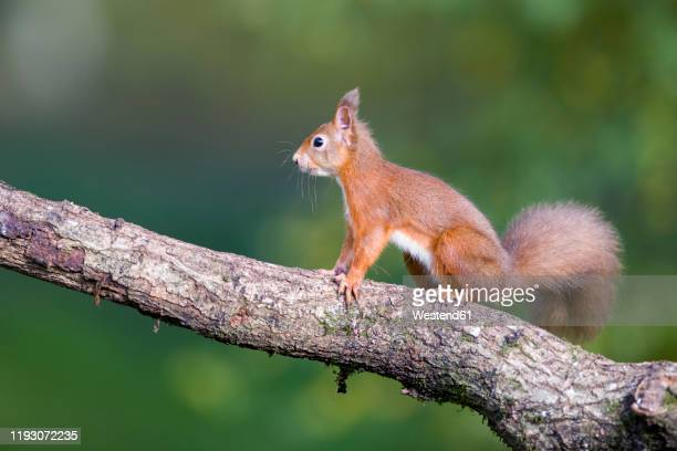 red squirrel on a tree trunk - eurasian red squirrel stock pictures, royalty-free photos & images