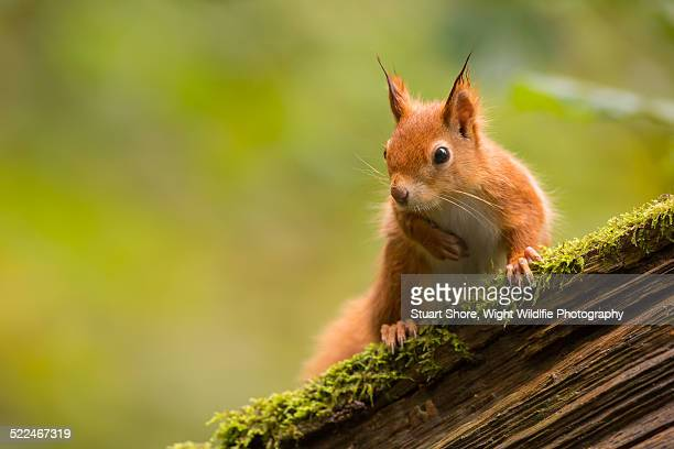 red squirrel on an old mossy oak - isle of wight stock pictures, royalty-free photos & images