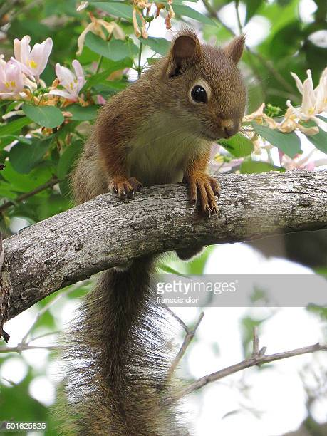 red squirrel on branch with flowers - american red squirrel stock photos and pictures