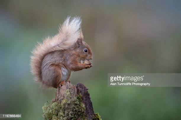 red squirrel on post - squirrel stock pictures, royalty-free photos & images