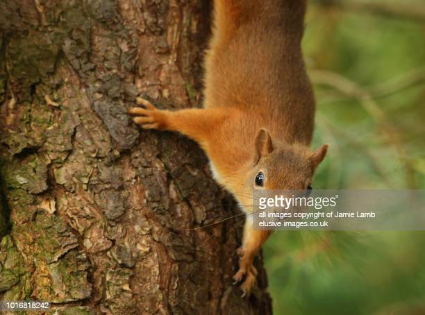 red squirrel on scots pine tree - eurasian red squirrel stock pictures, royalty-free photos & images