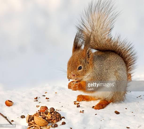 scoiattolo rosso sulla neve - scoiattolo foto e immagini stock