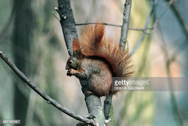 Red squirrel or Eurasian red squirrel , Sciuridae.
