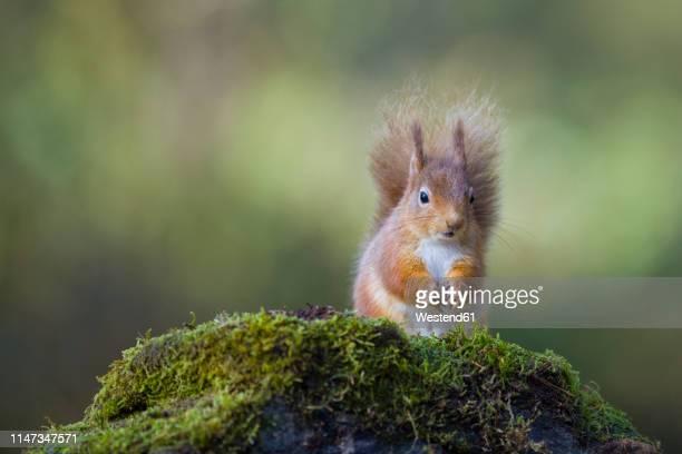 red squirrel - リス ストックフォトと画像