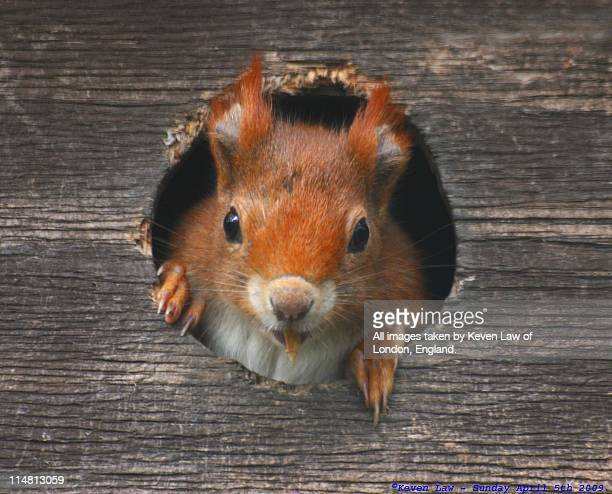 red squirrel - eurasian red squirrel stock pictures, royalty-free photos & images