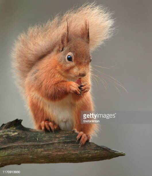 red squirrel - scoiattolo foto e immagini stock