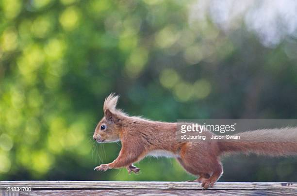 red squirrel - s0ulsurfing stock-fotos und bilder