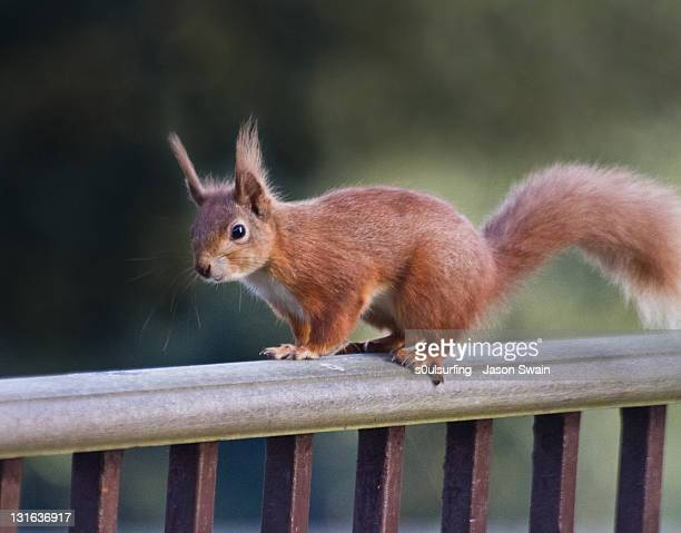 red squirrel - american red squirrel stock photos and pictures