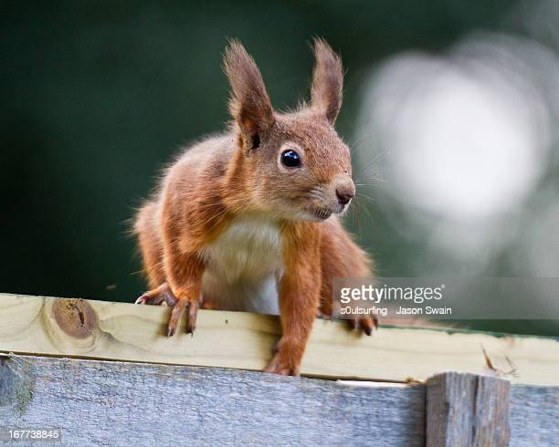 red squirrel - s0ulsurfing stock pictures, royalty-free photos & images