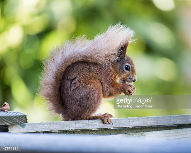 red squirrel - totland bay stock pictures, royalty-free photos & images