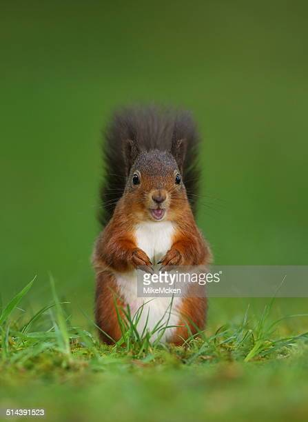 red squirrel - dumfries stock pictures, royalty-free photos & images