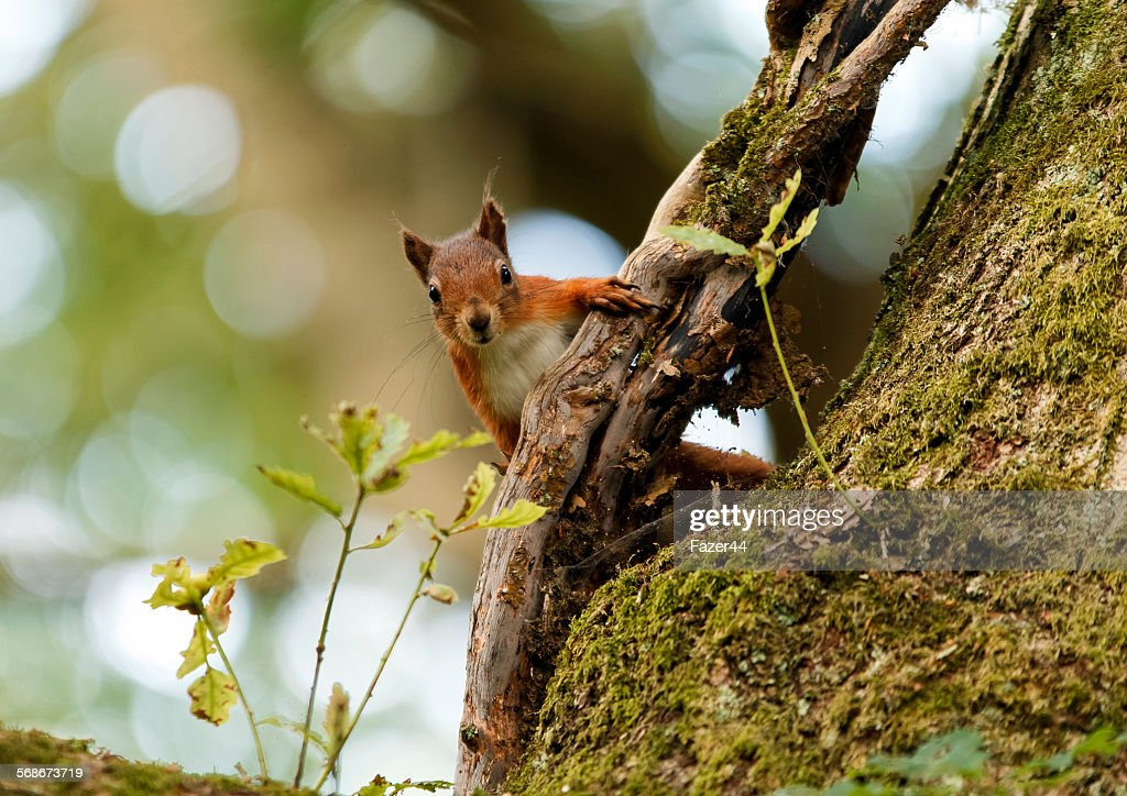 Red squirrel : Stock Photo
