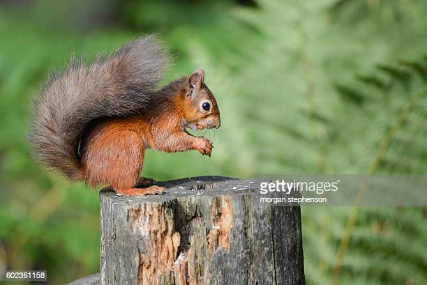 red squirrel - scarlett morgan stock photos and pictures