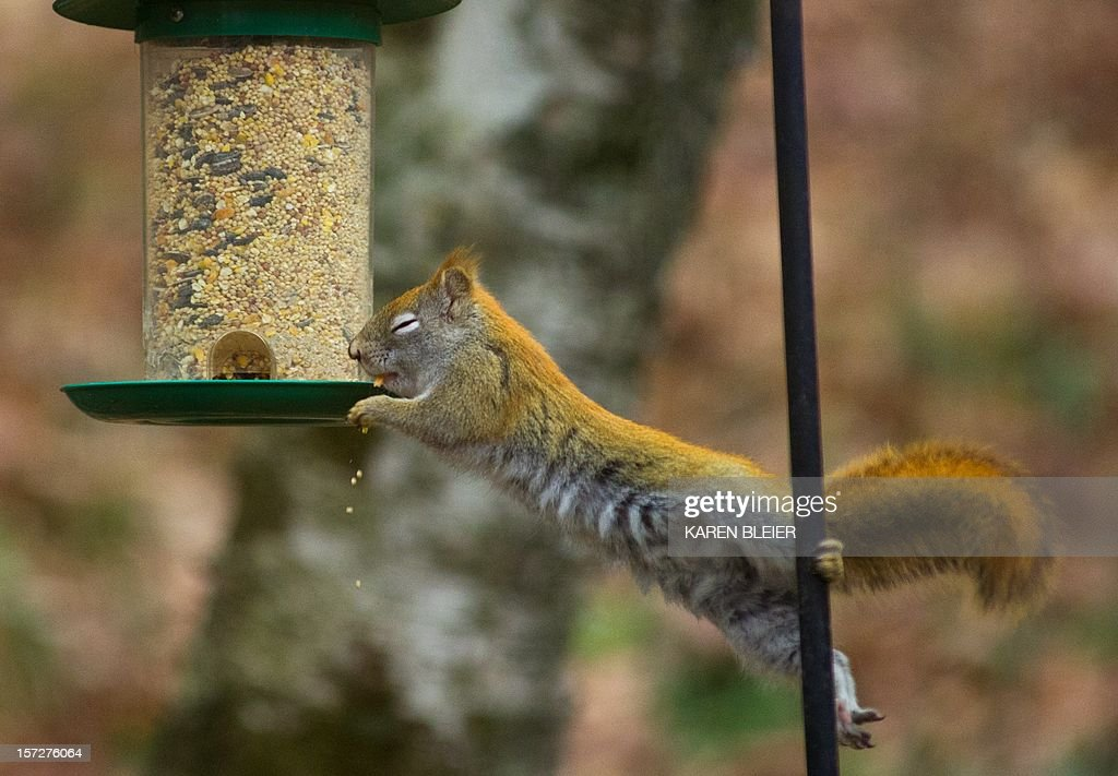 A red squirrel reaches for a birdfeeder hung from a wire to get the seeds December 1, 2012 in Hudson, Wisconsin. The battle goes on year round as bird lovers try various techniques to keep the squirrels from robbing the feeders and scaring the birds away. AFP PHOTO/Karen BLEIER