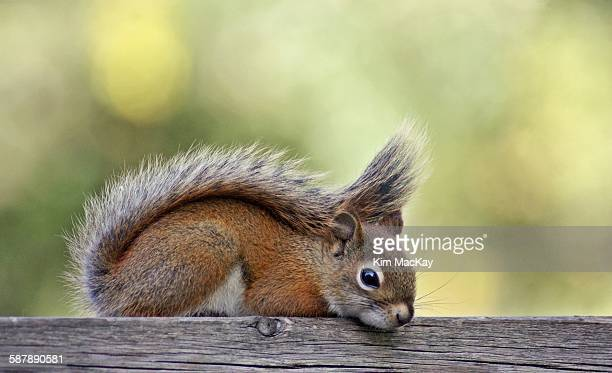 Red Squirrel relaxing on a fence
