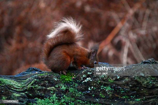 Red squirrel retrieves a hazelnut from a hole in a fallen tree trunk at the RSPB's Loch Leven nature reserve, on December 1, 2020 in Kinross,...