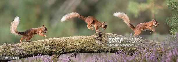 red squirrel running on log. - scoiattolo foto e immagini stock