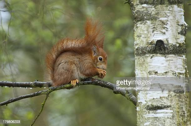 Red Squirrel Sciurus Vulgaris adult in silver birch British Wildlife Centre Surrey England United Kingdom