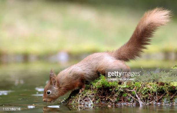 Red squirrel, Sciurus vulgaris, drinking from a pond