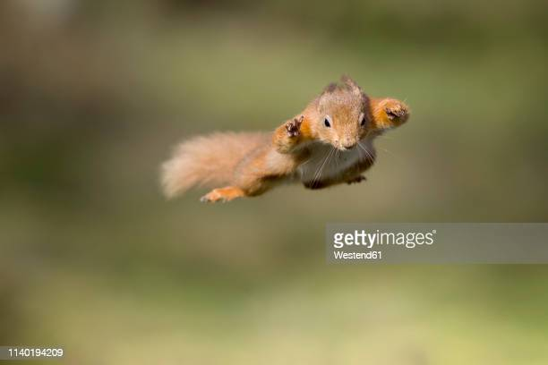 red squirrel, sciurus vulgaris, jumping - animals in the wild stock pictures, royalty-free photos & images