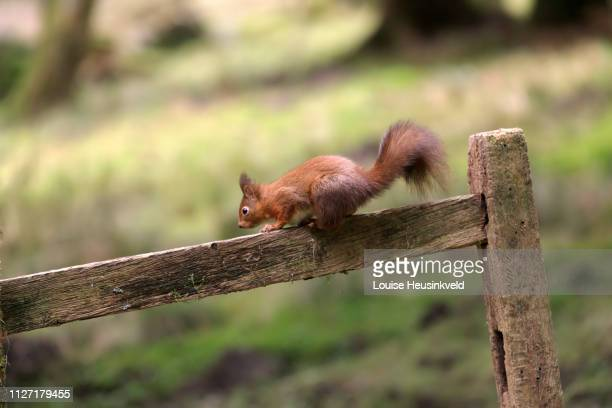 Red squirrel; Sciurus vulgaris, on a crooked wooden fence