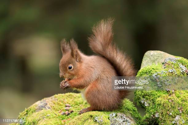 Red squirrel, Sciurus vulgaris on a moss covered stone wall
